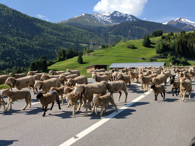 Waiting for sheep to cross the highway