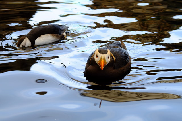 Puffins at the Alaska Sealife Center in Seward