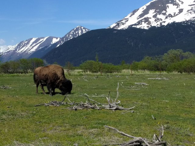 Wood Bison at the Alaska Wildlife Conservation Center